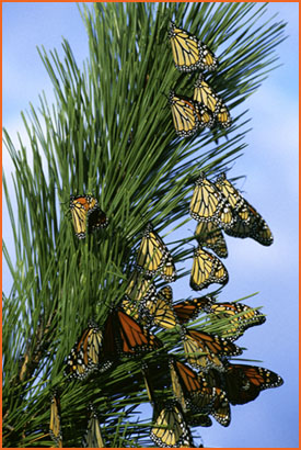Monarchs on pine tree