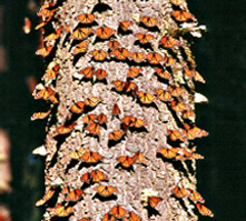 Monarchs on Tree Trunk
